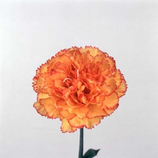 Oranje koningsdagbloemen foto- mooiwatbloemendoen.nl op losse bloemen blog Anjer
