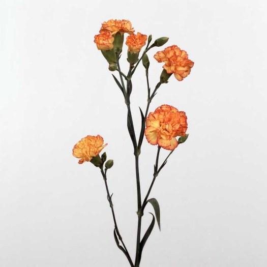 Oranje koningsdagbloemen foto- mooiwatbloemendoen.nl op losse bloemen blog Trosanjer