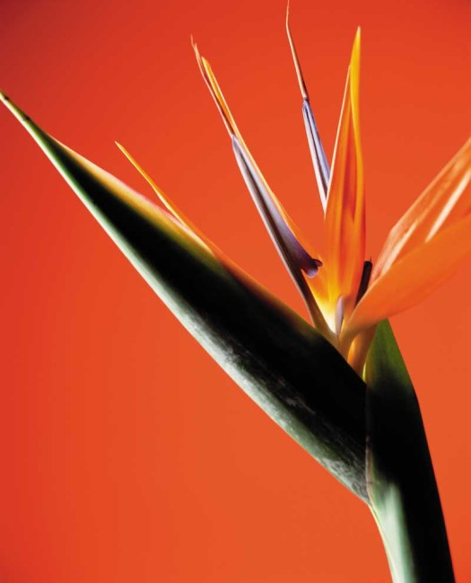 Oranje koningsdagbloemen foto- mooiwatbloemendoen.nl op losse bloemen blog Strelitzia - paradijsvogelbloem