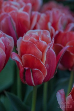 losse bloemen fam flowerfarm instameet Lisse tulpenveld tulips lossebloemen.nl blog-127