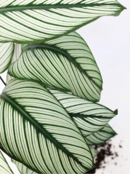 Calathea Majestica Whitestar ogreen