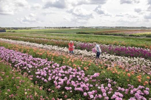 Famflowerfarm dahlia velden - foto's - lossebloemen-181