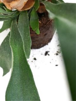 HERTSHOORNVARENogreen plant