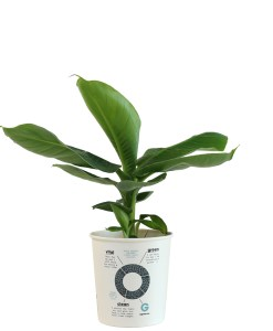Tropicana back big Musa Tropicana luchtzuiverende planten