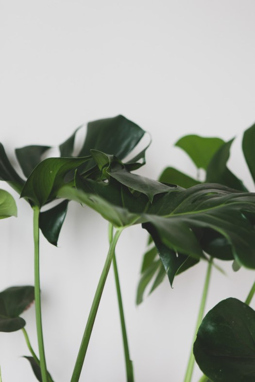 De Monstera is misschien beter bekend als gatenplant. Dit komt door zijn grote (natuurlijke) gaten in het blad. Waarom heeft de Monstera gaten in het blad? Wanneer er harde winden of tropische storm voorbij waait (ja niet in je woonkamer... hoop ik) beschermt de plant zichzelf door de gaten en inkepingen van het blad, de wind kan er zo vrij doorheen razen zonder ernstige beschadigingen.