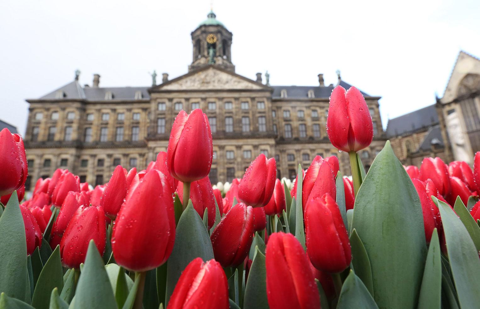 Overal tulpen Ben je niet in de gelegenheid om naar Amsterdam te komen? Behalve op de Dam wordt de start van een nieuw tulpenseizoen ook in heel Nederland gevierd. Veel bloemisten organiseren vanaf 19 januari bijzondere tulpenacties en -activiteiten in hun winkel.