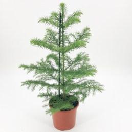 Jk plant Araucaria kerstboom kamerplant