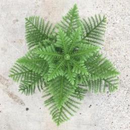 Araucaria heterophylla Jk plant