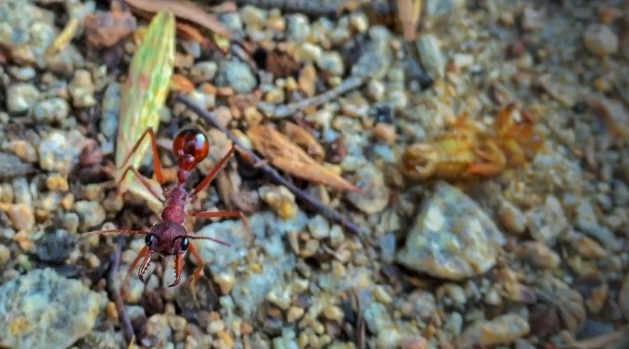 giant-ant-australia