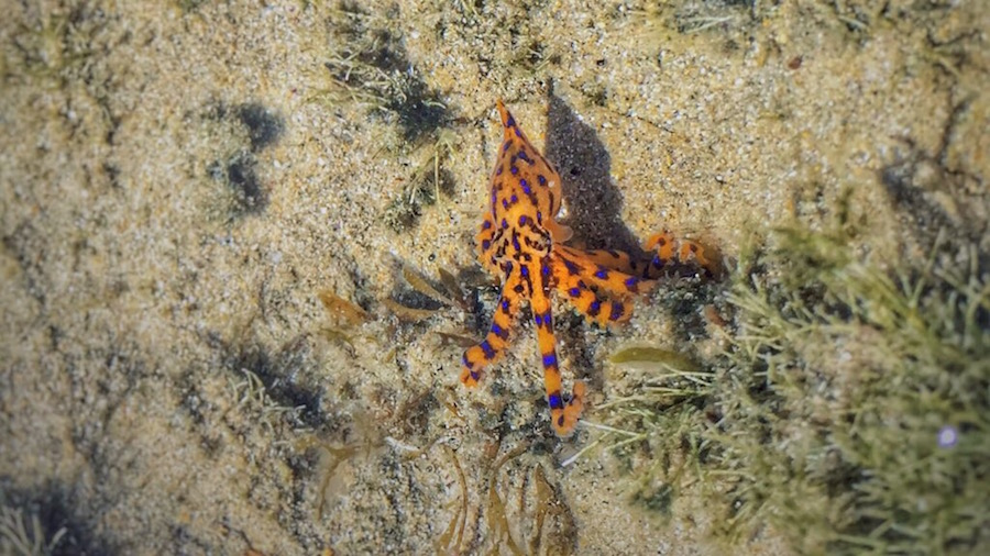 blue-ringed-octopus3