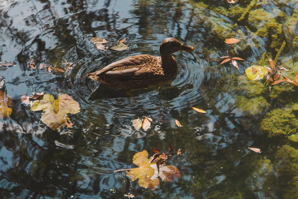 A duck swims through autumn leaves in Krka National Park Croatia. Photo taken with Canon 650D Rebel T4i, edited in Lightroom. Get the free Krka lightroom preset with cool highlights, warm shadows, and a gentle fade.