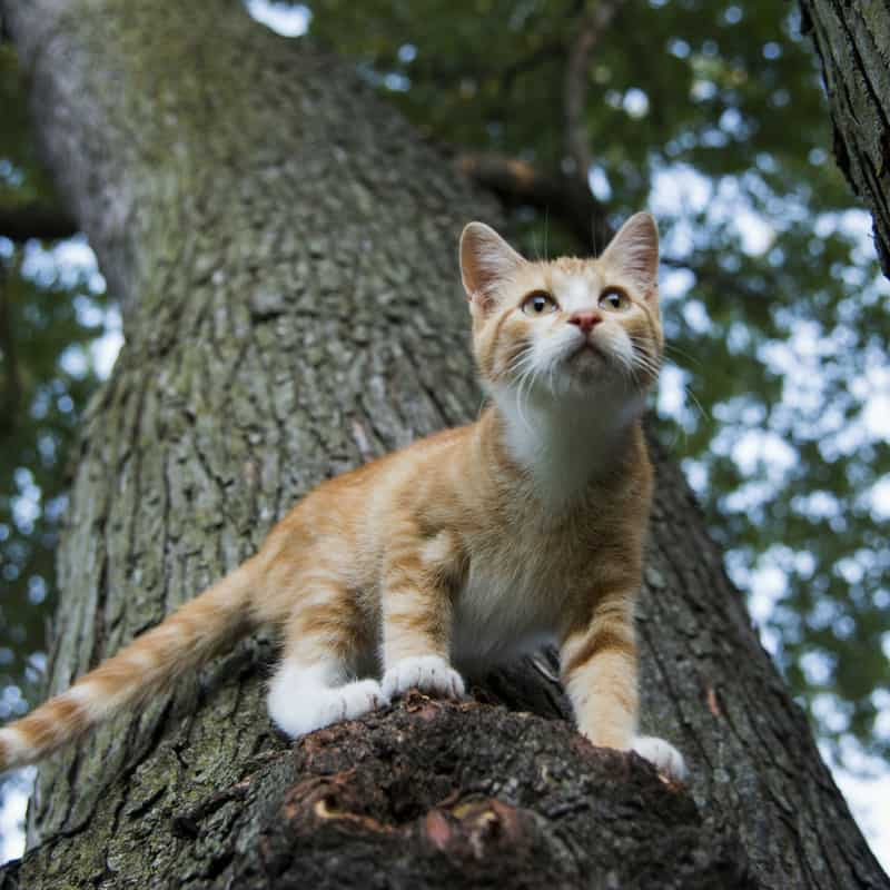 An 8 month old ginger and white male kitten climbing a large tree
