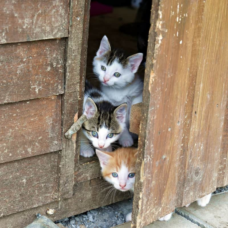 3 kittens of various colors peeking out the door of a garden shed