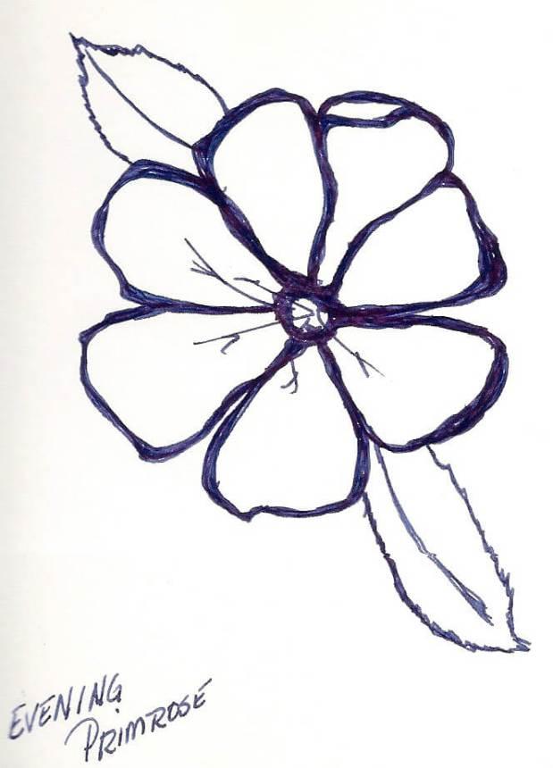 drawingEvening Primrose