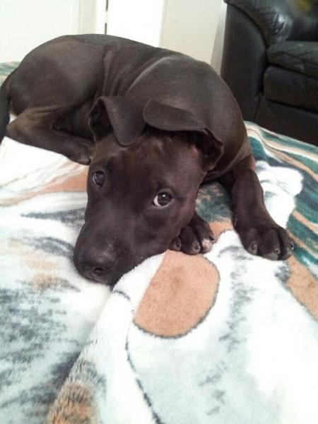 Lost Black Dark Brown Pitbull San Diego Lost Dogs