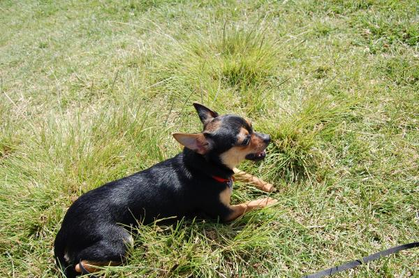 Lost Black And Brown ChihuahuaMini Pin Mix San Diego