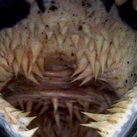 The Terrifying and Specialized Mouth of the Leatherback Turtle