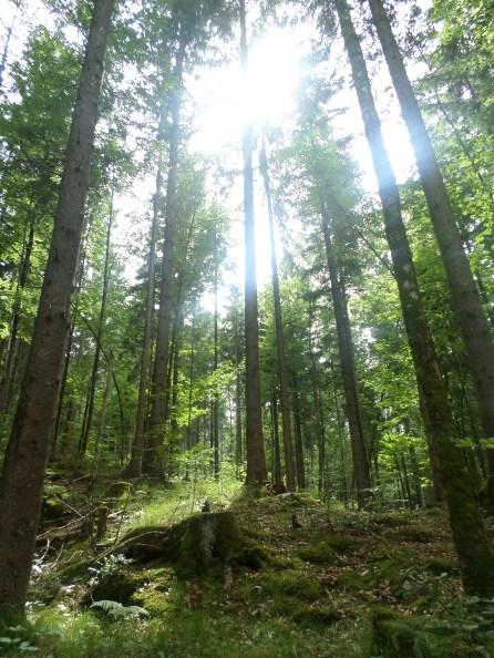 The forest surrounding Neuschwanstein Castle