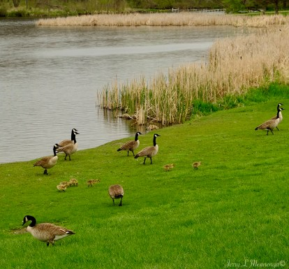 Some geese families out for a social at Bacon Creek Park in Sioux City, Iowa Friday, April 28, 2017. (Photo by Jerry L Mennenga©)