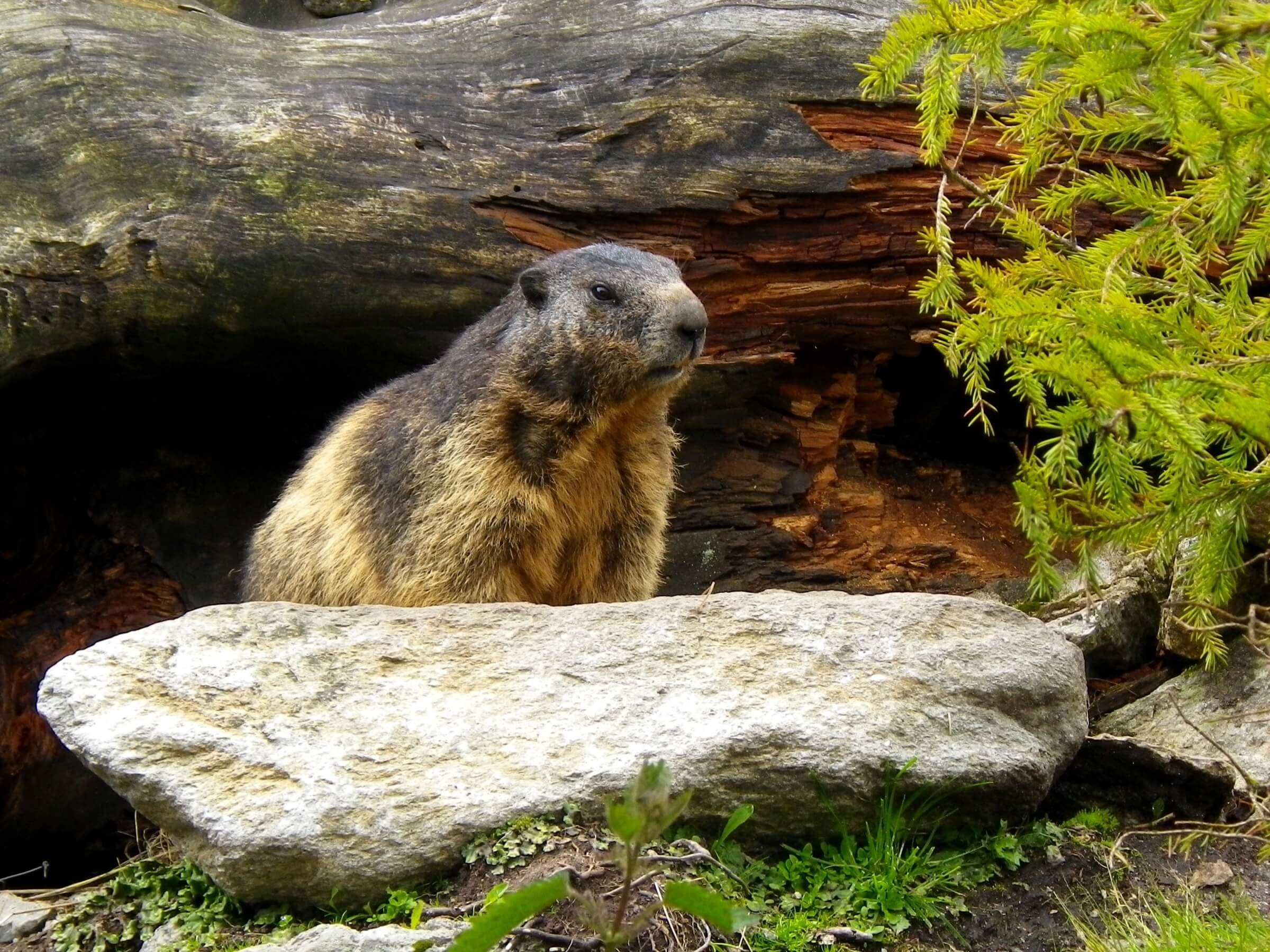 "The marmot, or ""Murmeli"" as we call it, is iconic to the Swiss mountains."