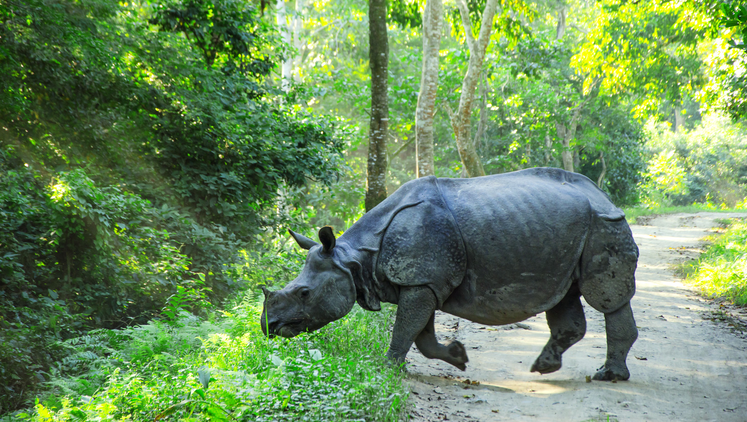 KAZIRANGA | One Horned Rhino