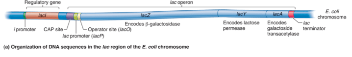 a detailed drawing of the lac operon gene