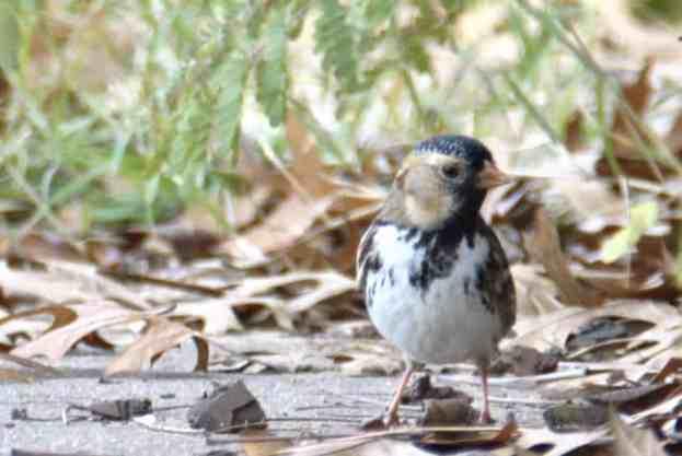 Harris's Sparrow Bastrop TX