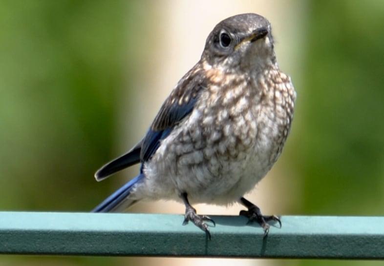 Juvenile Eastern Bluebird at Little Piney, Bastrop TX