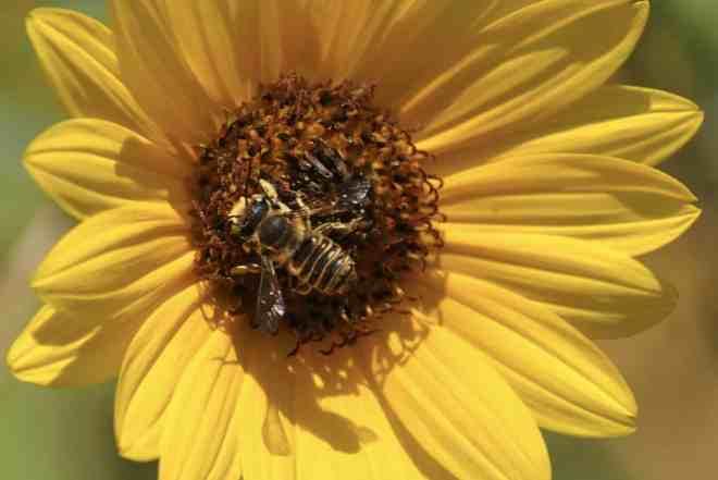 Bee on Maximillian sunflower