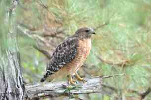 Red-shouldered Hawk, Bastrop TX
