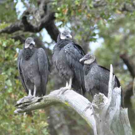 Black Vultures, Bastrop TX