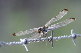 Dragonflies of Bastrop Tx