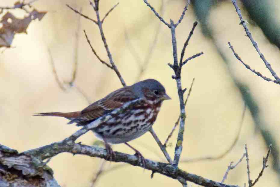 Fox Sparrow at Little Piney Bastrop TX