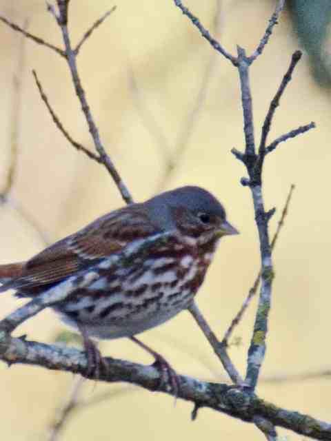 Fox Sparrow at Little Piney Bastrop TX