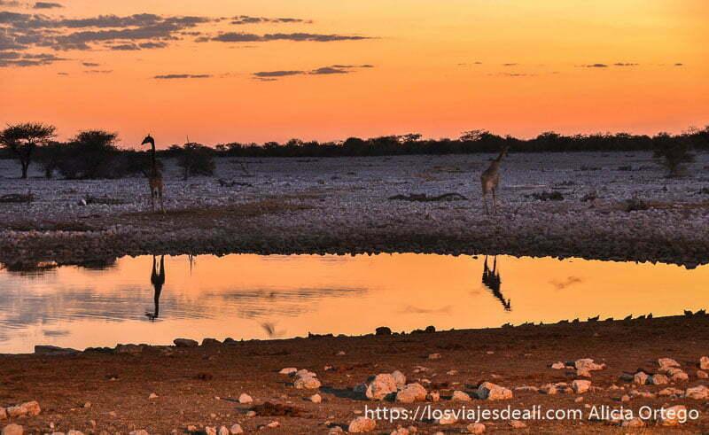 dos jirafas reflejadas en el agua con cielo naranja del atardecer