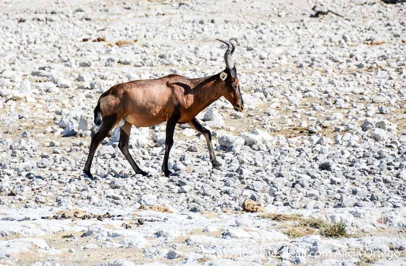 antílope de color rojizo con cuernos pequeños y curvados andando sobre piedras en el parque nacional de etosha