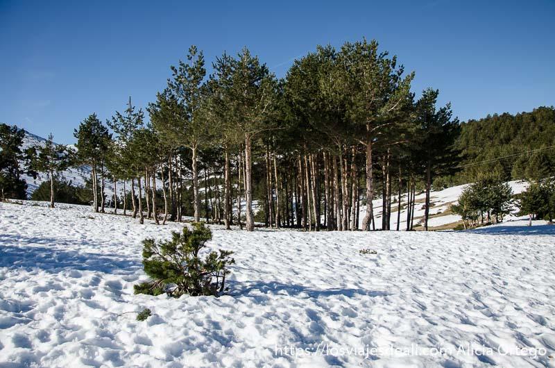 paisaje nevado con grupo de pinos al fondo