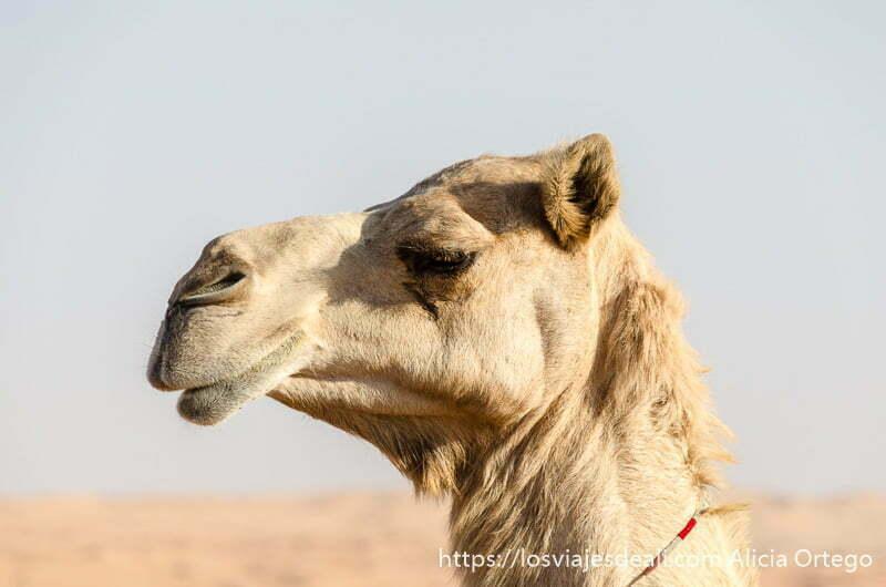 retrato de camello de perfil