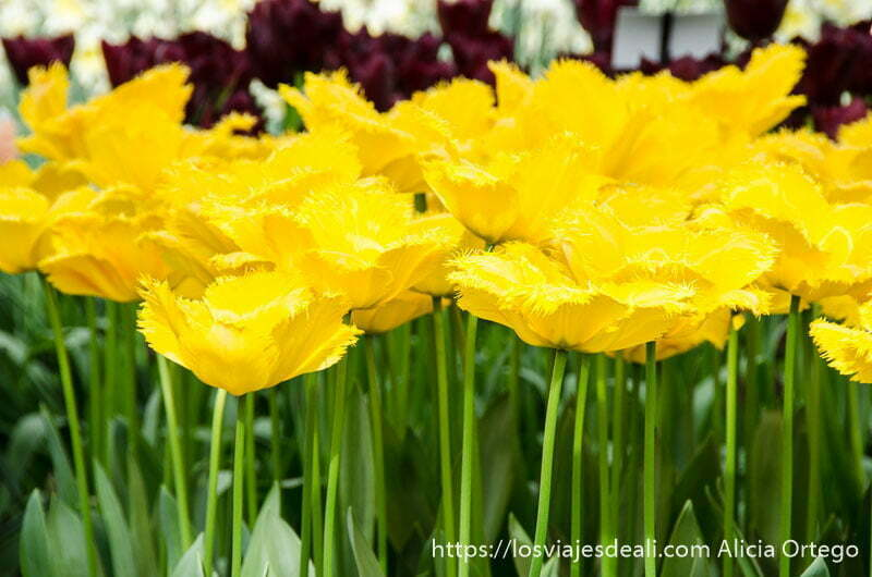 tulipanes abiertos de color amarillo chillón