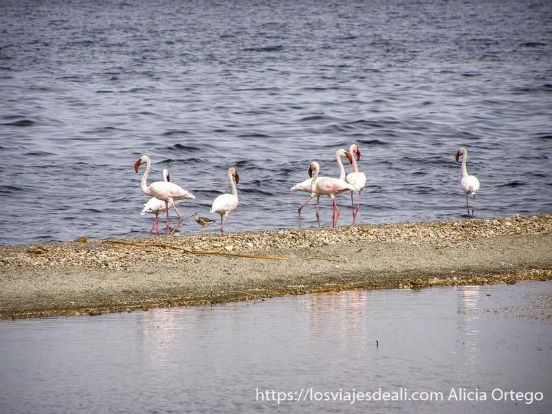 grupo de flamencos en la orilla de uno de los lagos de etiopía