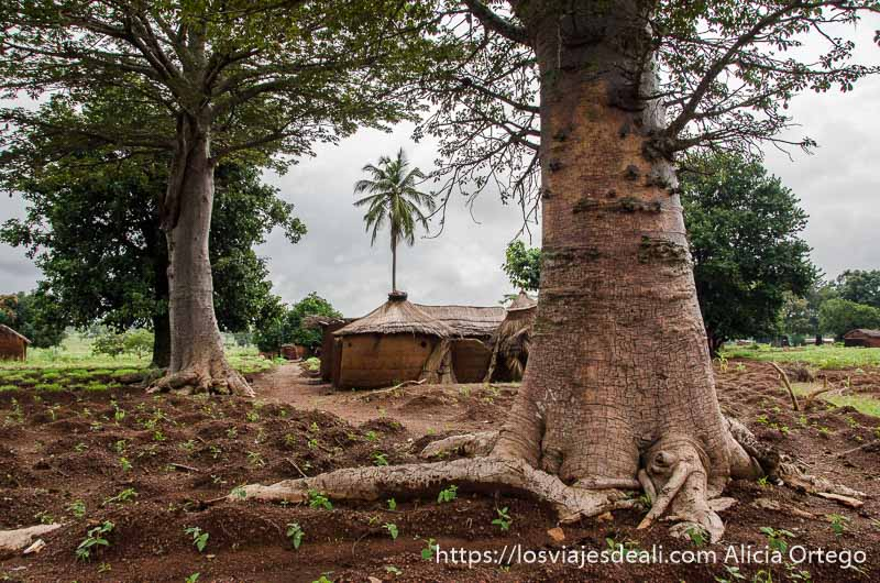 árboles con grandes troncos y raíces y una tata somba al fondo tribus de benin
