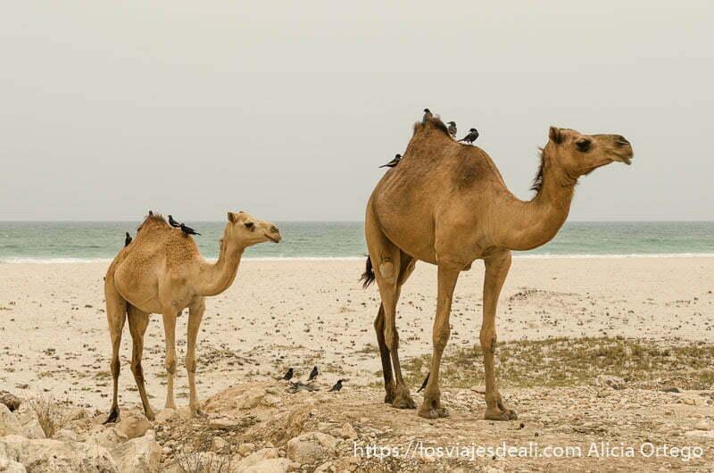 dos camellos con pajarillos en el lomo y detrás la playa con el mar visitas que hacer cerca de salalah