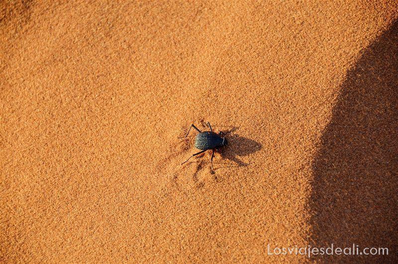 escarabajo en el desierto de namib