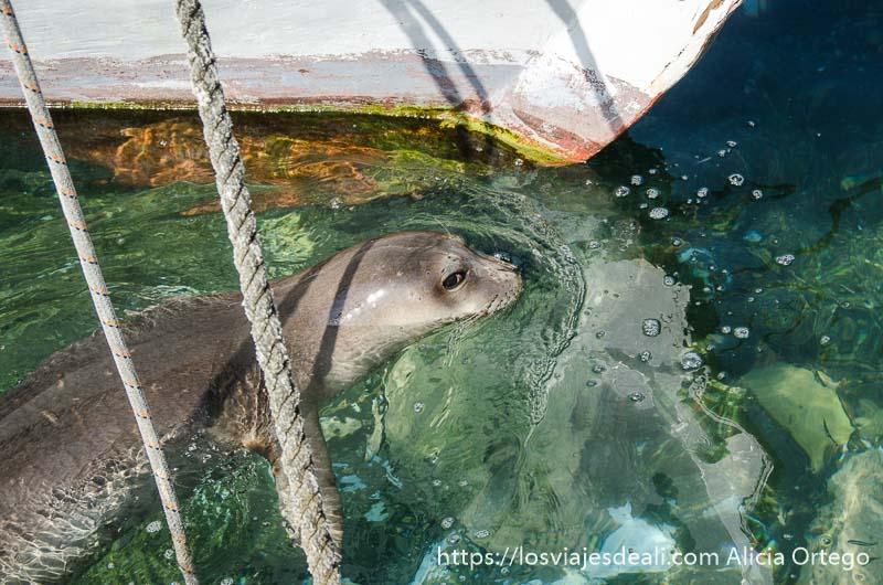 león marino nadando entre barcas en el puerto de la capital de naxos