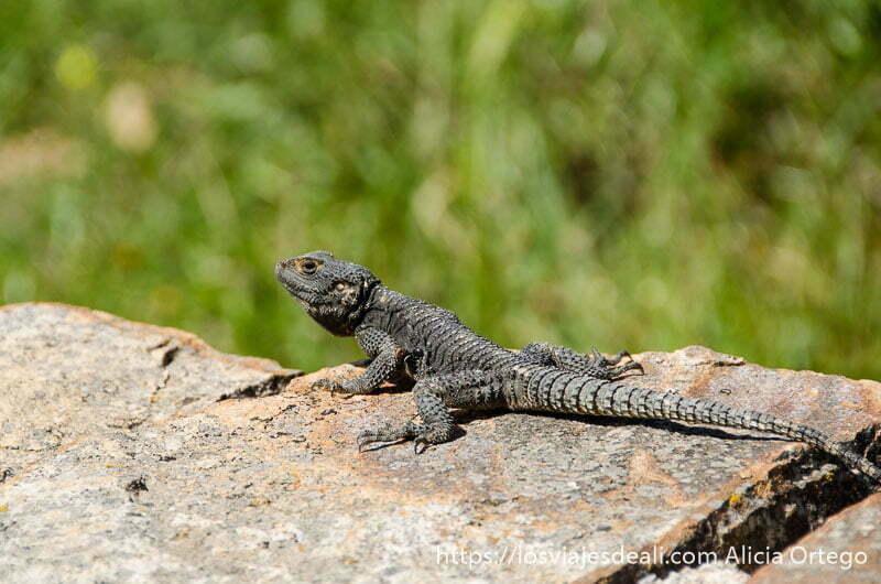 gran lagarto gris sobre una roca senderismo y arqueología en la isla de naxos