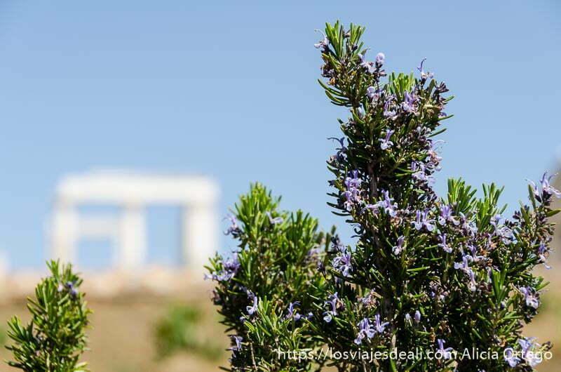 arbusto con flores moradas y al fondo el templo de deméter blanco en la isla de naxos