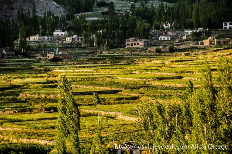 campos de arroz verdes bañados por luz de sol de atardecer en trekking cerca de leh