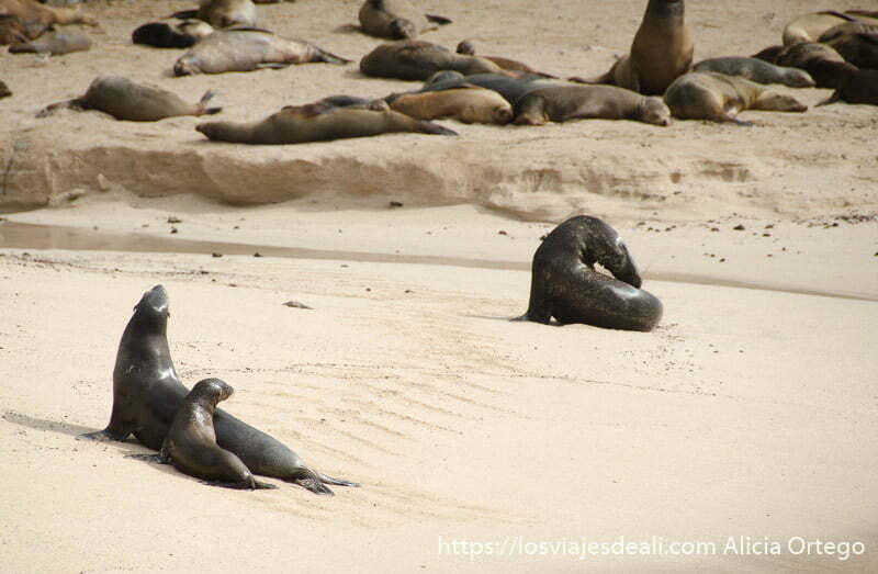 leones marinos con una cría en la playa de la isla de san cristóbal