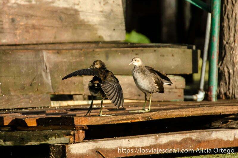 dos pájaros sacudiéndose el agua de lluvia sobre una madera en srinagar