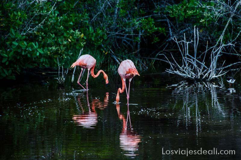 fauna y flora de galapagos flamencos